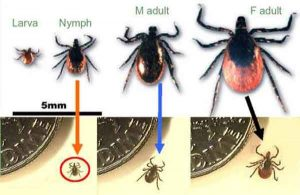 Deer Ticks & Lyme Disease